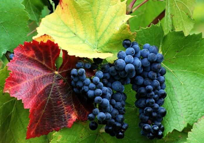 Виноград: посадка и уход, обрезка и размножение, сорта