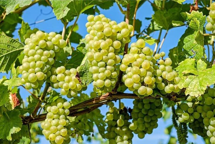 vyrashchivaniye-vinograda