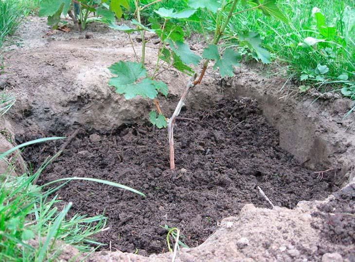 posadka-vinograda-v-otkrytyy-grunt