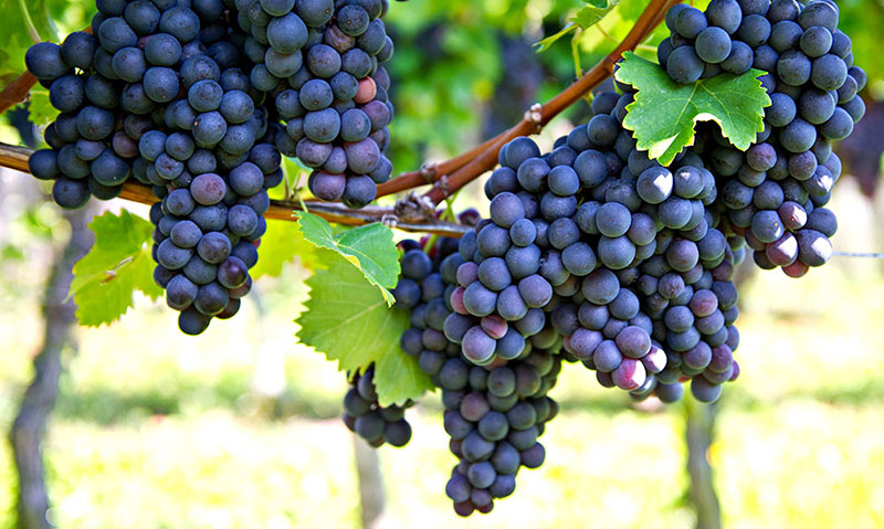 ukhod-za-vinogradom