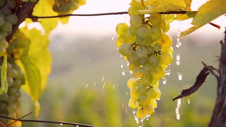 poliv-vinograda