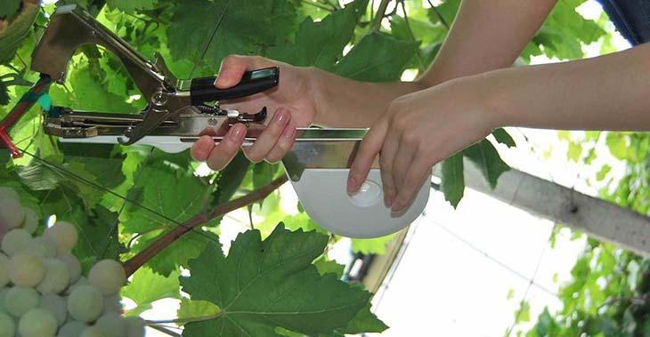 podvyazka-vinograda