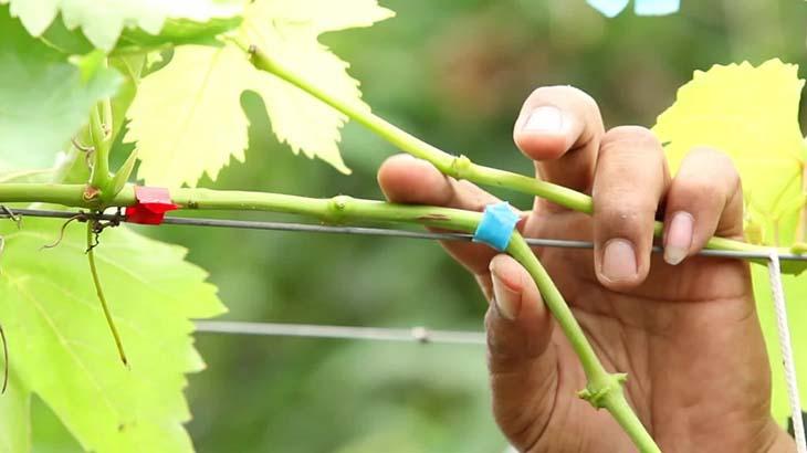 razmnozheniye-vinograda-privivkoy